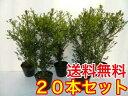 キンメツゲ 樹高0.5m前後 15cmポット 20本セット 【送料無料】 (金芽ツゲ) 生垣