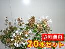 アベリア 樹高0.4m前後 15cmポット 20本セット 【送料無料】 ベーシック /