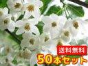 エゴノキ 樹高0.5m前後 10.5cmポット 50本セット 【送料無料】 白い清楚な花が、枝いっぱいに咲く木 /