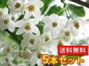 エゴノキ 【5本セット】 樹高1.0m前後 12cmポット 【送料無料】 白い清楚な花が、枝いっぱいに咲く木 /