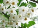 エゴノキ / 樹高1.0m前後 12cmポット / 白い清楚な花が、枝いっぱいに咲く木 /