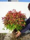 オタフクナンテン・大株/樹高0.4m前後根巻き/特大株お多福南天おたふくなんてん五色ナンテン冬は紅葉します
