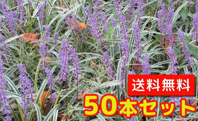 フイリヤブラン 【50本セット】 / 10.5cmポット 【送料無料】 斑入りヤブラン /