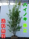 ハイノキ / 樹高1.5m前後 根巻き 【送料無料】 株立ちはいのき【灰の木】 常緑樹で5-6月に小さな白い花をたくさん咲かせます。
