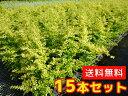 プリペット・レモンアンドライム 樹高0.4m前後 15cmポット 15本セット 【送料無料】 レモン&ライムプリベット /