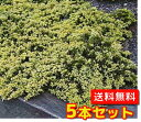 ゴールデンカーペット【5本セット】樹高0.2m前後15cmポット【送料無料】コニファー/