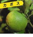 カボス 【 単 品 】 樹高0.5m前後 15cmポット / かぼす /