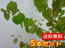 カツラ 樹高0.8m前後 12cmポット 5本セット 【送料無料】 / ※別途≪送料無料≫セット商品も販売中。