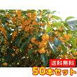 キンモクセイ 樹高0.3m前後 10.5cmポット 50本セット 【送料無料】 秋に花を咲かせ優しい香りが特徴生垣用 金木犀