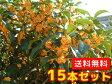 キンモクセイ 樹高0.8m前後 15cmポット 15本セット 【送料無料】 秋に花を咲かせ優しい香りが特徴生垣用 金木犀
