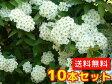 コデマリ 樹高0.4m前後 15cmポット 10本セット 【送料無料】 / /