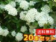 コデマリ 樹高0.4m前後 15cmポット 20本セット 【送料無料】 / /