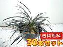 コクリュウ 【30本セット】 / 10.5cmポット 【送料無料】 黒リュウノヒゲ 黒っぽい葉色をした人気のグランドカバー黒竜