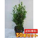 クサツゲ 樹高0.15m前後 12cmポット 30本セット 【送料無料】 低い生垣に /