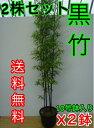 クロチク 【2鉢セット】 樹高1.5m前後 30cm鉢 【送料無料】 3本立ち〜 高級竹・黒竹くろちくクロタケくろたけ 鉢入り