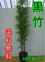 クロチク / 樹高1.5m前後 30cm鉢 【送料無料】 3本立ち〜 高級竹・黒竹くろちくクロタケくろたけ 鉢入り