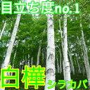 シラカバ ジャクモンティー/樹高1.2m前後根巻き【M送料無料】ジャクモンティーシンボルツリーに目立ち度no.1