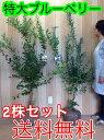 ブルーベリー・お得な2株セット 【2本セット】 樹高1.2m前後 根巻き 【送料無料】 品種:ブルーシャワーとブライトウェル。2種を混植すれば実がよく成ります /