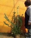 ブルーベリー・ブライトウェル / 樹高1.0m前後 根巻き 【送料無料】 春は花、夏は実、秋は紅葉、人気の庭木です。 実:7月上旬