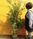 ブルーベリー・ビッグノビリス / 樹高1.2m前後 根巻き 【送料込み】 春は花、夏は実、秋は紅葉、人気の庭木です。 実:7月下旬