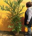 ブルーベリー・ティフブルー / 樹高1.2m前後 根巻き 【送料無料】 春は花、夏は実、秋は紅葉、人気の庭木です。 実:7月下旬