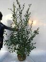 【店頭受取専用品】ブルーベリー・ティフブルー/樹高1.2m前後根巻き/春は花、夏は実、秋は紅葉、人気の庭木です。/