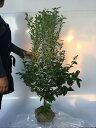 ブルーベリー・ブルーシャワー 樹高1.0m前後 根巻き / 【T1送料無料】 ぶるーべりー ぶるーしゃわー ラビットアイ系 ブルーベリー 販売 苗 植木 苗木 庭木 垣根 生垣 生け垣 目隠し 木 果樹 果樹苗 果樹園用