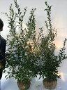 ブルーベリー・2種セット【2株セット】樹高1.2m前後根巻き【M送料無料】品種:ブライトウェルとティフブルー。/