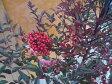 ナンテン 樹高0.2m前後 12cmポット 【別途、お買い得セット商品あり】 / 南天:赤実縁起の良い木とされ、鬼門または裏鬼門に植えると良い /