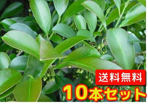 サカキ 【10本セット】 樹高0.3m前後 10.5cmポット 【送料無料】 本サカキ:本榊:(榊) /
