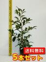 サカキ 【5本セット】 樹高0.5m前後 13.5cmポット 【送料無料】 本サカキ (榊)本榊