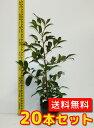 サカキ 樹高0.5m前後 13.5〜15cmポット 20本セット 【送料無料】 本サカキ (榊)本榊
