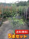 サカキ 【5本セット】 樹高0.8m前後 15cmポット 【送料無料】 本サカキ (榊)本榊