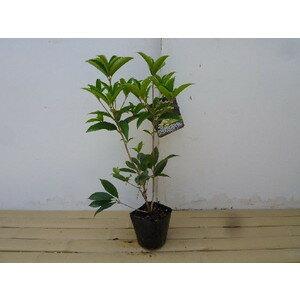シキザキモクセイ / 樹高0.3m前後 10.5cmポット / 年に何度か花が咲き優しい香りが特徴 スイートオリーブ(四季咲モクセイ)