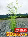 シマトネリコ 【30本セット】 樹高0.5m前後 10.5cmポット 【送料無料】 株立ち /