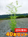 シマトネリコ 【40本セット】 樹高0.5m前後 10.5cmポット 【送料無料】 株立ち /