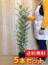 シマトネリコ 【5本セット】 樹高0.8m前後 18cmポット 【送料無料】 株立ち 人気のシンボルツリー