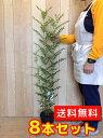 シマトネリコ 【8本セット】 樹高0.8m前後 18cmポット 【送料無料】 株立ち 人気のシンボルツリー