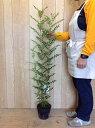 シマトネリコ / 樹高0.8m前後 18cmポット / 株立ち 人気のシンボルツリー