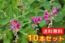 ヤマハギ 【10本セット】 樹高0.5m前後 12cmポット 【送料無料】 / /