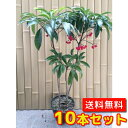マンリョウ 【10本セット】 樹高0.3m前後 15cmポット 【送料無料】 万両 /