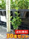 マサキ 【30本セット】 樹高0.5m前後 10.5cmポット 【T1送料無料】 / /
