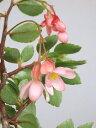 【3/27現在 花芽まだまだあります!】木立ベゴニア フクシオイセス(3号)