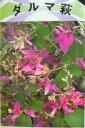 ピンクの大輪系花!ハギ ダルマ萩(3号)