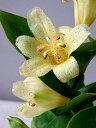 【花は終了しています】ホトトギス 高隈(4号)600