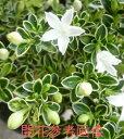 白丁木(白丁花)(ハクチョウゲ)斑入り(3号)