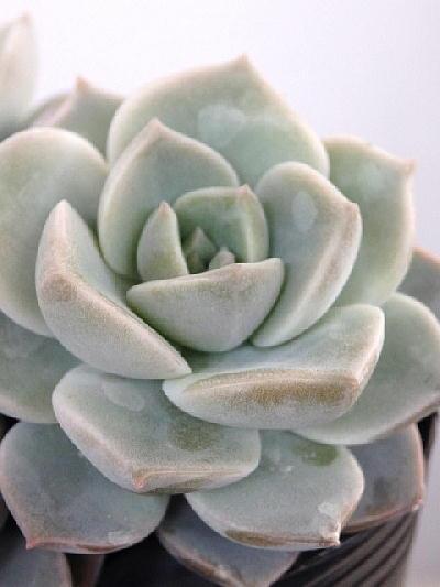 【3株植えです】多肉植物 白牡丹(エケベリア)(3号)