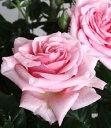 【花終了 切り戻しています】バラ ポールセンローズ ティファニー トレリス仕立て(5.5〜6号)3500