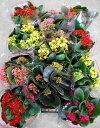 【特選花鉢セット販売】【お得なまとめ買い】カランコエ 一重 ミックス 11鉢セット(4号)