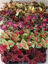 ※特選コリウス ミックス 8ポットセット(3号)ガーデン苗 セット販売 まとめ買い/寄せ植え カラーリーフ